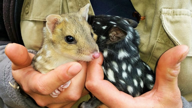 Eastern quolls at wildlife sanctuary Devils at Cradle in Tasmania.