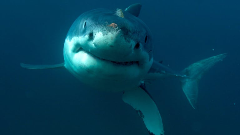 The suspected great white shark was estimated to be up to four metres long.