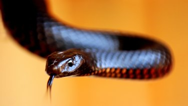 A female red belly black snake: repellent or fascinating?