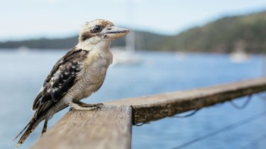 The Kookaburra Our Spirit Bird Must Be On The Coat Of Arms