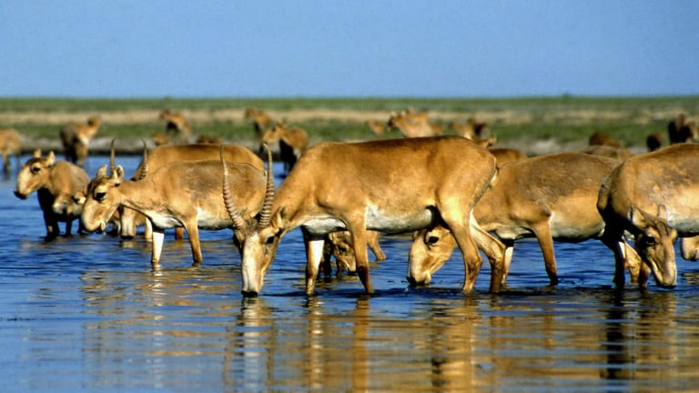 Saiga antelopes drink from a lake outside Almaty in this undated file picture. The sudden deaths of tens of thousands in Kazakhstan over the past two weeks has left scientists scrambling for answers.