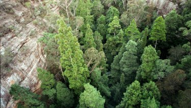 Aerial view of some wild Wollemi pines in Wollemi National Park.