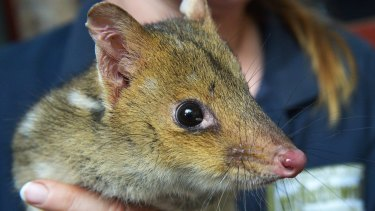 Eastern quoll at the Mount Rothwell conservation centre. Labor says it will do more protect the environment.