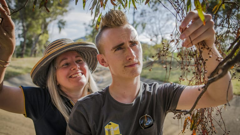 Urban Honey apiarists Carmen and Mitchell Pearce check spent blooms on a yellow box melliodora in Ainslie.