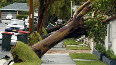 Rows of trees fell down in the Newcastle suburb of Hamilton South.