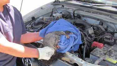 Of the 2000 calls Wildcare receives in a year, a small number are to extract native animals from unusual places. This possum was found under the bonnet of a car but hid in the air filter when rescuers tried to extract him.