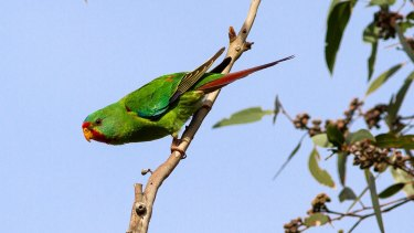 A flock of one of the most endangered parrots in Australia, the swift parrot, has been spotted feeding in the Royal National Park.