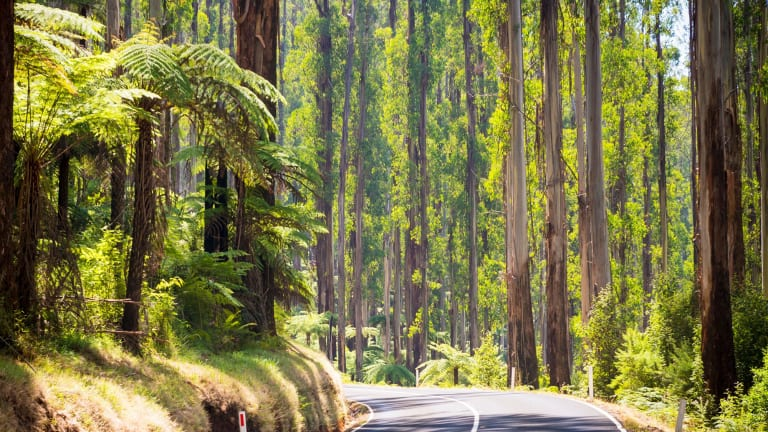 Towering trees and tree ferns in the forest along the Black Spur in the Yarra Valley.