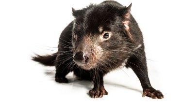 A female Tasmanian devil at Trowunna Wildlife Park, in Mole Creek, Tasmania.