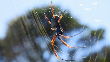 Golden Orb weaver at North Head on Monday.