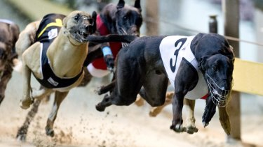 Greyhounds racing at Sydney's Wentworth Park.
