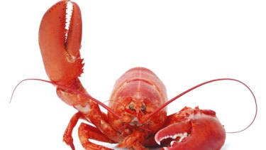 The Swiss have banded boiling lobsters alive.