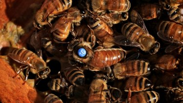 If the invasive varroa mite arrives in Australia, it will wipe out many honey bee colonies.