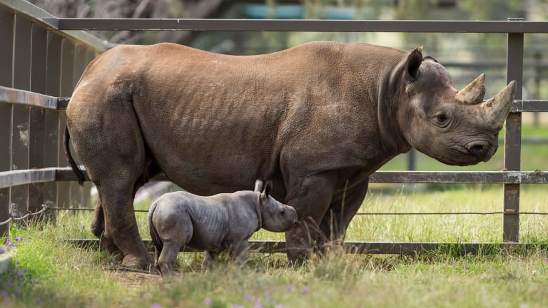 The southern black rhino calf, seen with his mother Bakhita was born at Dubbo's Taronga Western Plains Zoo on Halloween.