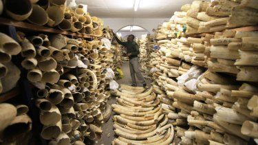 A Zimbabwe National Parks official inspecting the country's ivory stockpile in Harare.