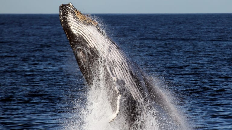 Sanctuaries near the Abrolhos Islands are habitats for humpback whales, blue whales, sea lions, and the western rock lobster, says environment group Pew.