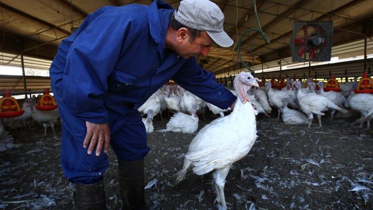 Joe Grima has 15,000 turkeys on his farm.