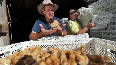NSW Farmers Egg Committee chairman Bede Burke with a new delivery of 27,000 day-old chicks.