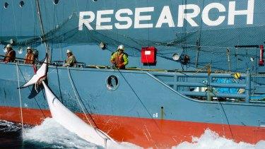 Japanese whalers with a harpooned minke whale alongside their ship