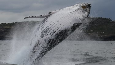 Scientific surveys since the 1980s have shown a surprising increase in humpback numbers.