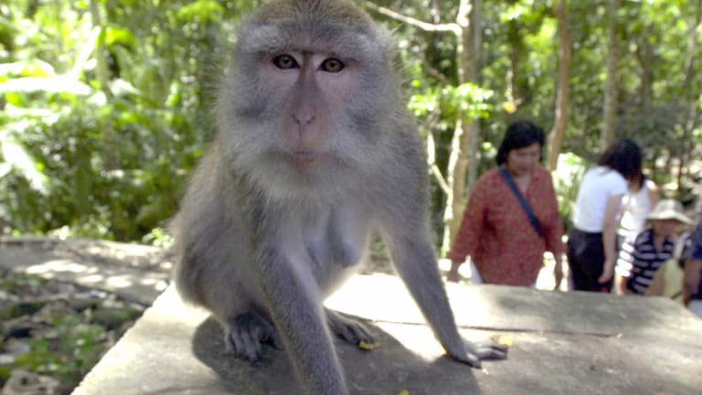 Tame monkeys roam freely at Ubud Monkey Forest in Bali.