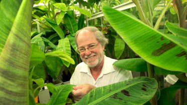 Distinguished Professor James Dale worked out of labs at QUT and on far north Queensland farms to develop the golden banana.