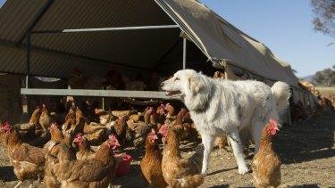 Guard dog Fang protecting chooks.