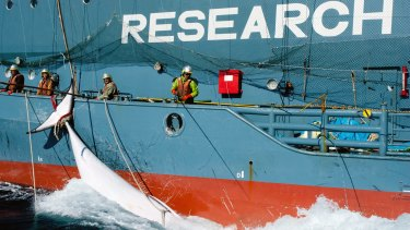 Japanese whalers in the Antarctic, with a minke whale alongside their ship.