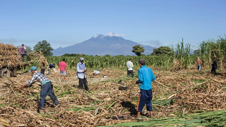 A sugar-cane field in El Salvador.
