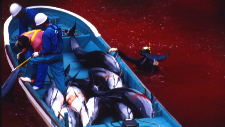 The Taiji dolphin hunt in 2007.