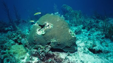 Coral in shallow waters - such as this Montastraea cavernosa at 5 metres - can be more susceptible to bleaching.