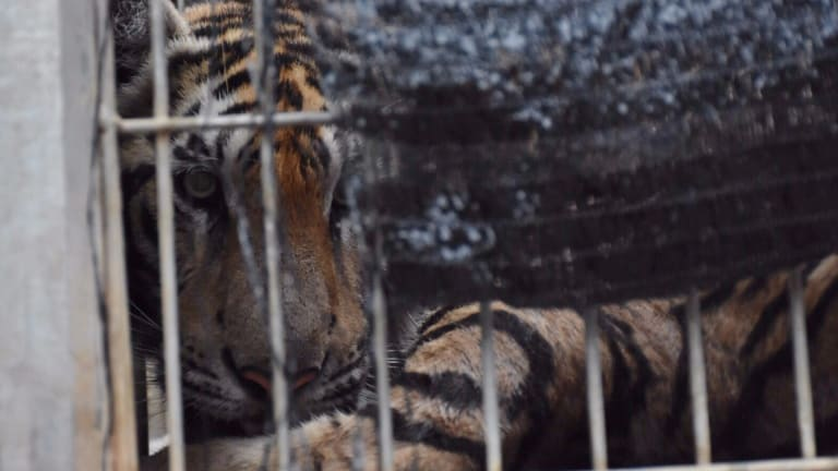 "A tiger looks out of a cage at the ""Tiger Temple"" in Saiyok district in Kanchanaburi province in 2016."