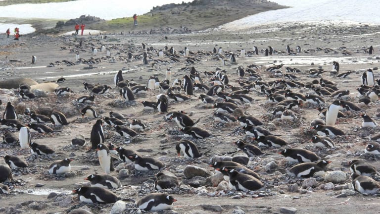 Nesting gentoo penguins are seen during the 2016 Homeward Bound expedition.