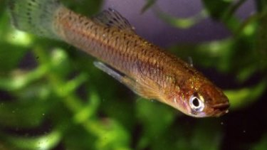 Male eastern gambusia or mosquitofish. The gonopodium is clearly visible under the fish body.