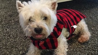 Scruffy, the 17-year-old Maltese terrier, was found dead in a Bardon backyard on Friday.