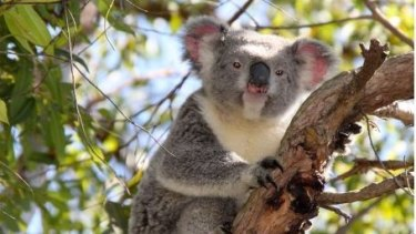 Biggest threat to koala populations is loss of habitat, scientists say.