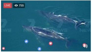 Channel Seven broadcast two migrating whales playing off Williamstown in Melbourne on Friday.