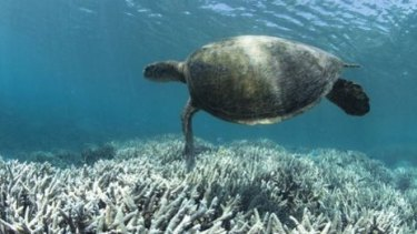 Coral bleaching affects more than just the reefs.