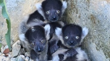 The black and white ruffed lemurs.