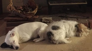 Mr Herbert's dogs, Ted and Patch.
