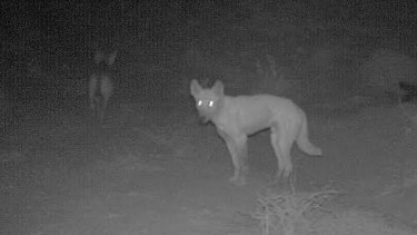 Matt Wilson says wild dogs are much smarter than we realise.