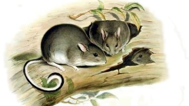 John Gould painting of the White-footed Rabbit Rat.