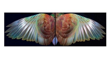 Kereru Wings by Fiona Pardington.