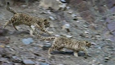 Planet Earth II: A critical scene when a mother snow leopard tries to escape an aggressive male, looking to mate with her.