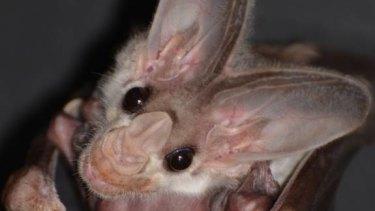 Ugly mug: A ghost bat pup.