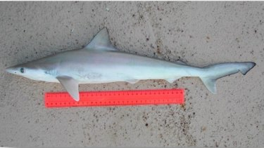 Sharpnose sharks only reach about 80 centimeters in length.