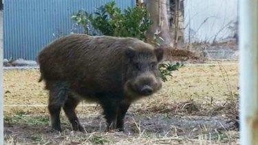 Wild boar at Fukushima