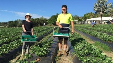 South-east Queensland strawberry growers have started a campaign to lure local workers to replace an expected decline in backpackers.