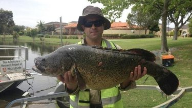 This 15kg cod was found in a Canning Vale lake.
