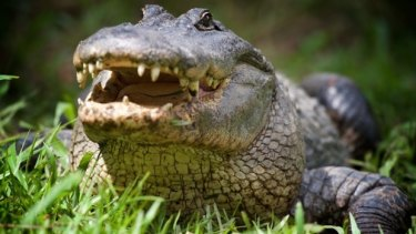 Several alligators have been culled at the resort following the accident.